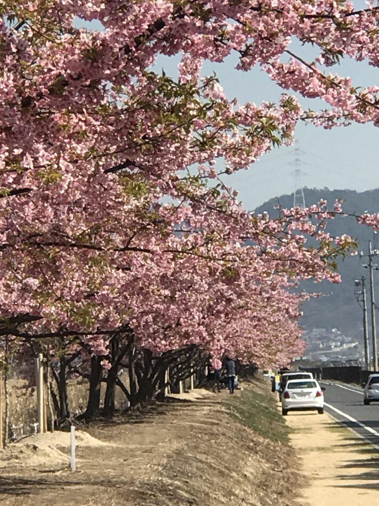児島湖花回廊河津桜
